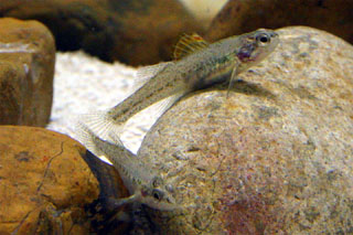 Male Fountain Darter, image from www.edwardsaquifer.net